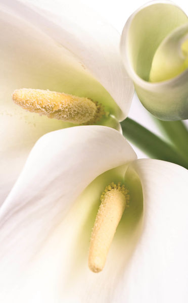 Summer Lilies Fragrance Capsule